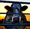 Cowspiracy: The Sustainability Secret by Kip Anderson
